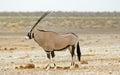 A lone giraffeGemsbok Oryx drinking from camp waterhole