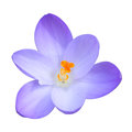 Isolated single blue crocus spring flower