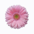 Isolated soft pink gerbera daisy flower
