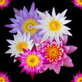 Isolated top view of colorful lotus flowers Royalty Free Stock Photo
