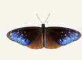 Isolated top view of striped blue crow butterfly Royalty Free Stock Photo