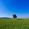 Isolated tree in the green countryside