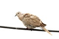 Isolated turtledove on electric wire standing over white background streptopelia decaocto Stock Photography
