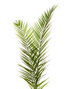Isolated two palm leaves on white background Royalty Free Stock Images