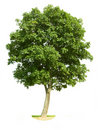 Isolated Walnut Tree Stock Photos
