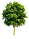 Isolated Walnut Tree Royalty Free Stock Images
