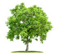 Isolated walnut tree on a white background Royalty Free Stock Images