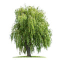 Isolated weeping willow on a white background Royalty Free Stock Images