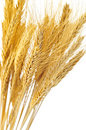 Isolated wheat ears Stock Photo