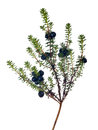 Isolated on white juniper branch with berries Royalty Free Stock Photo