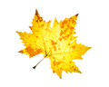 Isolated yellow orange autumn maple leaf on a white background theme Royalty Free Stock Photography