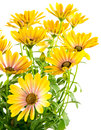 Isolated yellow Osteospermum flower blossoms Royalty Free Stock Photo