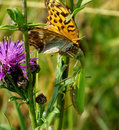 Issoria lathonia fall prey to the praying locust in ambush attack butterfly Royalty Free Stock Photo