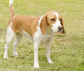 Istrian shorthaired hound a young beautiful white and orange puppy dog standing on the lawn the short haired is a Stock Photo