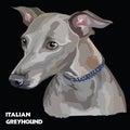 Italian Greyhound colorful vector portrait