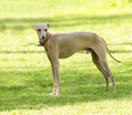 Italian greyhound a small fawn brown dog standing on the lawn grey hounds are very thin and have a slender structure making them Royalty Free Stock Photos