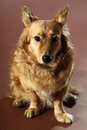 Italian mongrel dog hair from the gold and copper and black Royalty Free Stock Photography