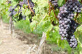 Italian Nebbiolo Red Wine Grapes on the Vine #1 Stock Photo