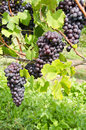 Italian Nebbiolo Red Wine Grapes on the Vine #2 Stock Image