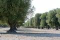 Italian olive tree Royalty Free Stock Photo