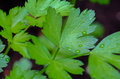 Italian parsely leaves on black flat parsley a background with water droplets Stock Image