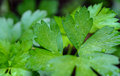 Italian parsely leaves on black flat parsley with water droplets Stock Photo