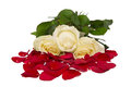 Italian roses red white and green isolated on white bed of rose petals Stock Photos