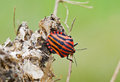 Italian striped bug also known as minstrel bug a an orange and black shield on the wilted flower of hogweed Stock Image