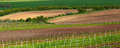 Italian summer vineyards Royalty Free Stock Photo