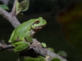 Italian tree frog Hyla intermedia Royalty Free Stock Photo