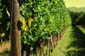 Italian Vineyard Royalty Free Stock Photo