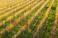 Italian vineyard lambrusco detail on sunset autumn Stock Images