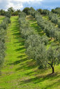 Italian vineyard sunny green in tuscany italy Stock Photo