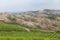 Italian vineyards landscape of hills valley with rows of grapevine for wine production in romagna italy Stock Image