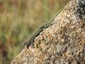 Italian wall lizard basking on a rock near bassacutena sardinia Stock Photo