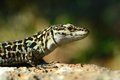 Italian wall lizard podarcis siculus lacerta tiliguerta closeup like crocodile Royalty Free Stock Photos