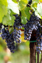 Italian wine grapes Stock Images