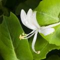 Italium Woodbine or Goat-leaf Honeysuckle, Lonicera caprifolium, flower with raindrops macro, selective focus Royalty Free Stock Photo