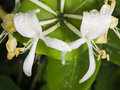 Italium Woodbine or Goat-leaf Honeysuckle, Lonicera caprifolium, flowers with raindrops macro, selective focus Royalty Free Stock Photo
