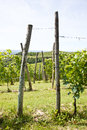 Italy - Piedmont region. Barbera vineyard Royalty Free Stock Photo