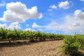 Italy vineyard a in tuscany Royalty Free Stock Photography