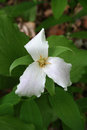 Itasca State Park Trillium Stock Photo