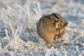 Its icy a lesser prairie chicken standing in ice covered sage Stock Photos