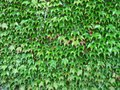 Ivies green ivy on the wall Stock Images