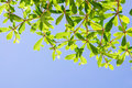 Ivory coast almond tree with blue sky Stock Image