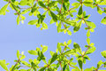 Ivory coast almond tree with blue sky Royalty Free Stock Photos