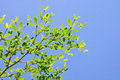 Ivory coast almond tree with blue sky Stock Photography