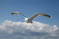 Ivory Gull Royalty Free Stock Photo