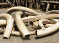 Ivory Tusks Royalty Free Stock Photo