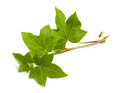 Ivy branch isolated isolated on white background Stock Photography